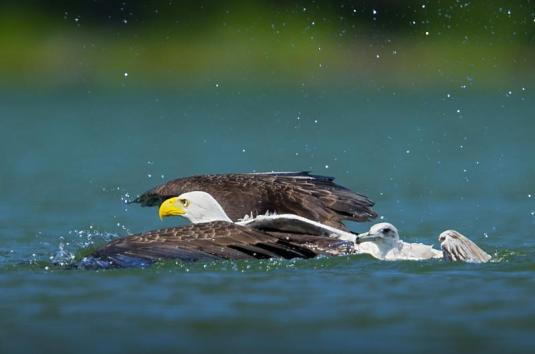 swim eagle