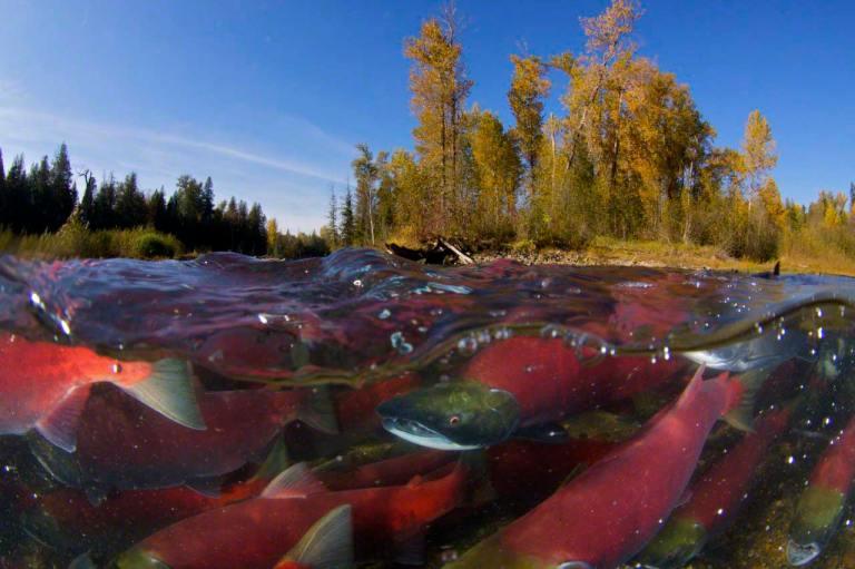 Sockeye salmon (Oncorhynchus nerka) split level view of annual spawning run, Adams River, British Columbia, Canada, October
